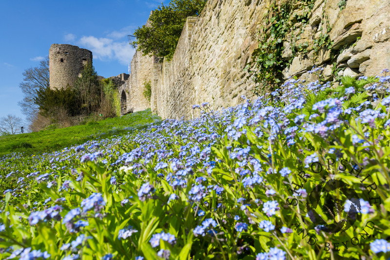 A bank of forget-me-nots beneath a wall at Ludlow Castle, Shropshire.