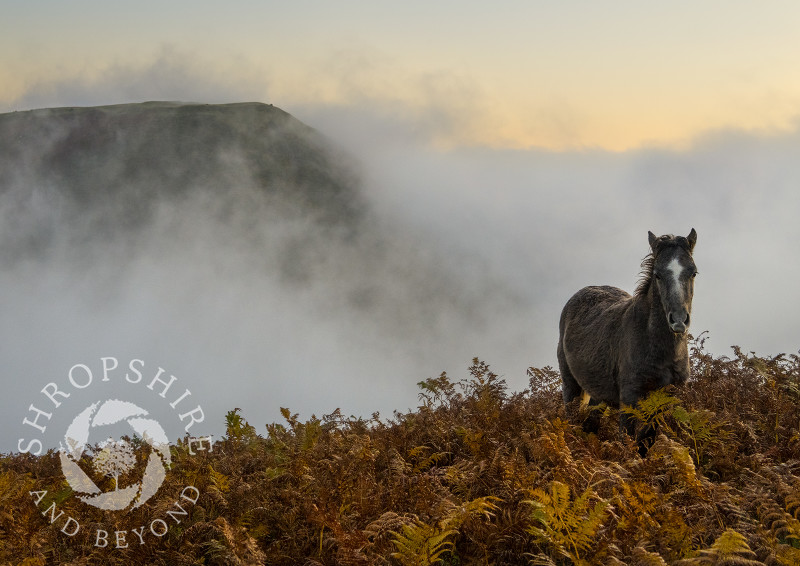 Pony on the Long Mynd at sunrise with Bodbury Ring, Shropshire.
