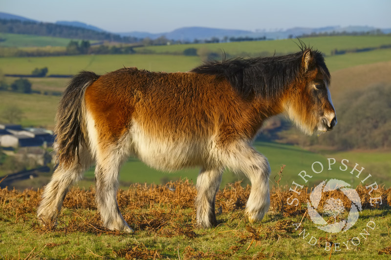 A young wild pony on Hopesay Common, near Craven Arms, Shropshire.