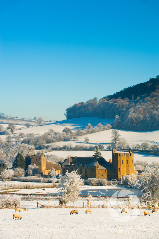Sheep grazing in the winter snow near Stokesay Castle, Shropshire, England.