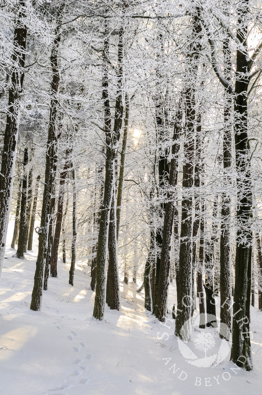Sunlight on frozen trees and snow, the Wrekin, Shropshire, England.