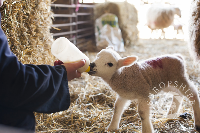 A farm worker bottle feeds a lamb at Middle Farm, Shelve, on the Stiperstones, Shropshire, England.