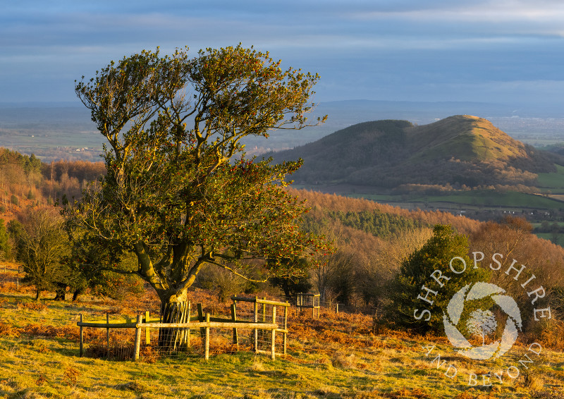 Early morning on the Hollies Nature Reserve, the Stiperstones, Shropshire.