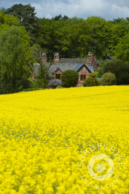 Sandstone cottage and a field of oilseed rape near Sambrook, north Shropshire, England.