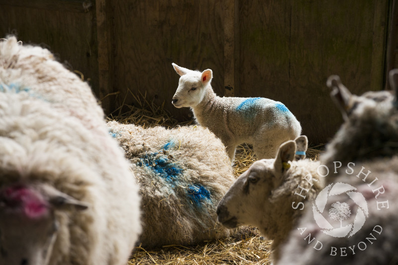 Ewes and newborn lamb in a barn at Shelve, Shropshire.