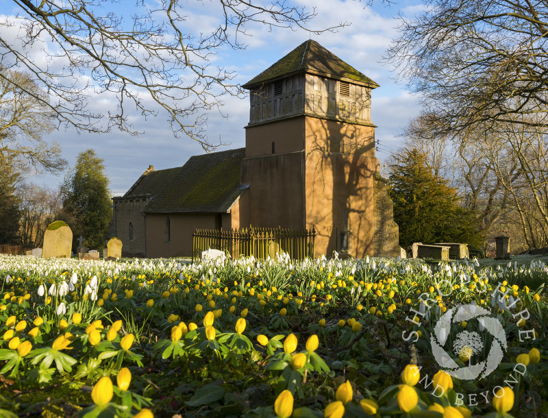 A sea of snowdrops and winter aconites at St James' Church, Shipton, Shropshire.