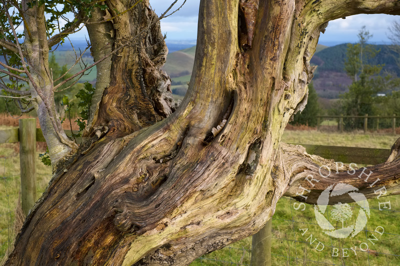 Gnarled trunk and branches on the Hollies Nature Reserve, the Stiperstones, Shropshire.
