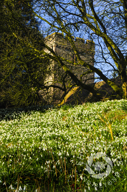 Snowdrops in St Peter's church yard at Stanton Lacy, Shropshire, England.