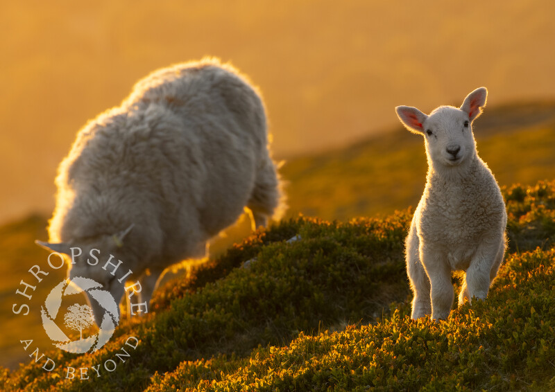 Sheep at sunrise on Titterstone Clee, Shropshire.