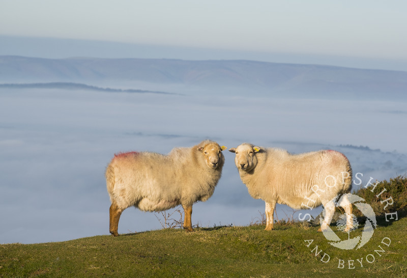 A pair of sheep in bright sunshine on the summit of Titterstone Clee, above a sea of mist covering the south Shropshire countryside.