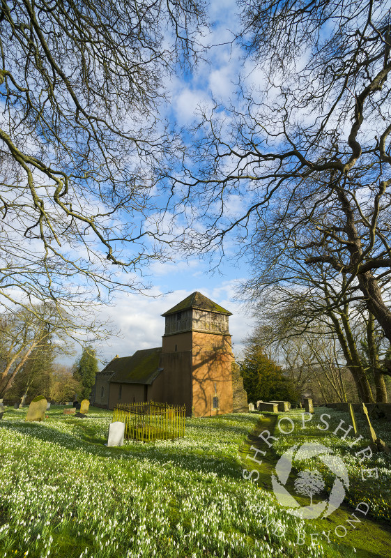 A sea of snowdrops at St James' Church, Shipton, Shropshire.