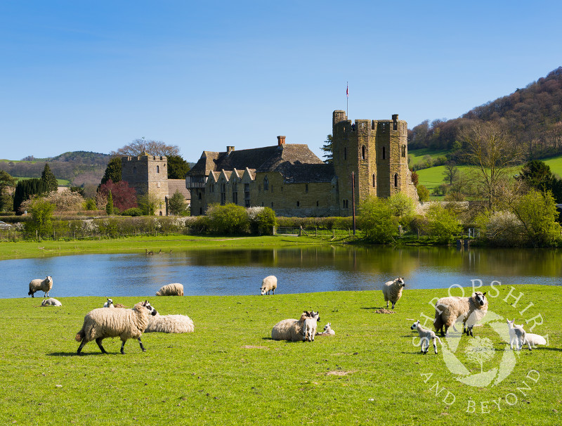Sheep and lambs graze near Stokesay Castle, Shropshire.