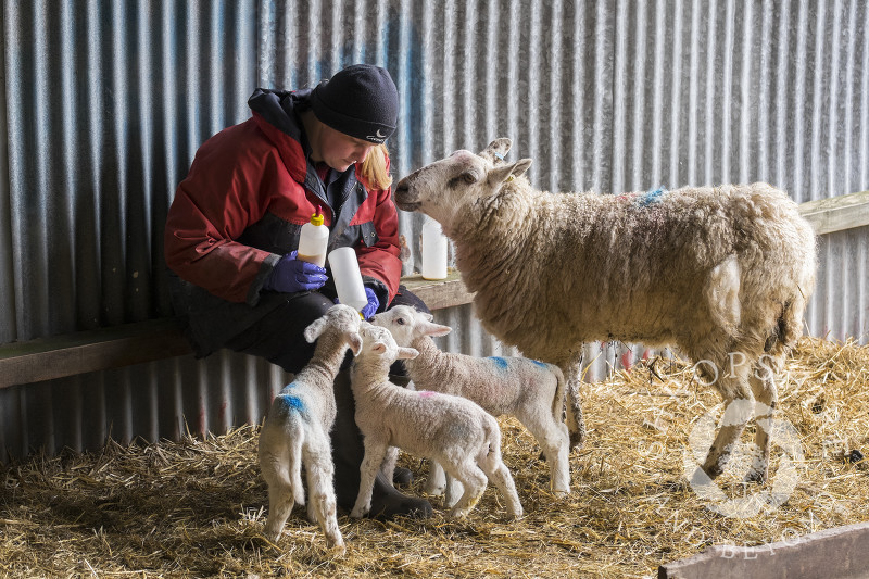 Newly born triplet lambs being bottle-fed on a farm at Shelve, Shropshire.