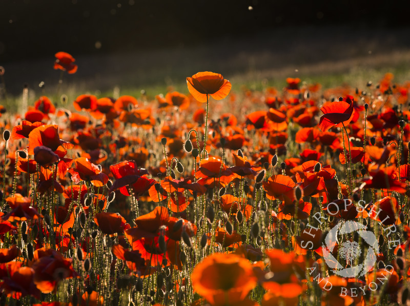 Poppies at sunset in a field at Shifnal, Shropshire.