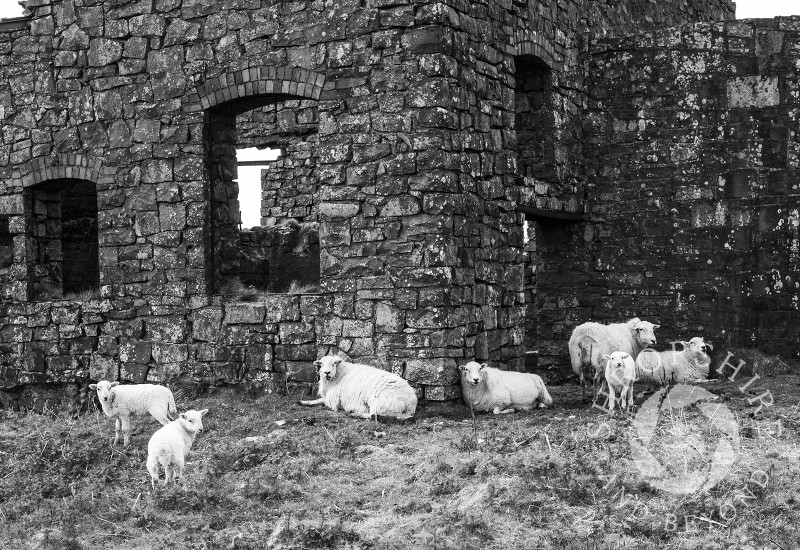 Sheep and lambs among the remains of mining on the summit of Brown Clee Hill, Shropshire.