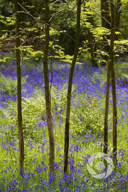 Bluebells on the Ercall, Shropshire, England.