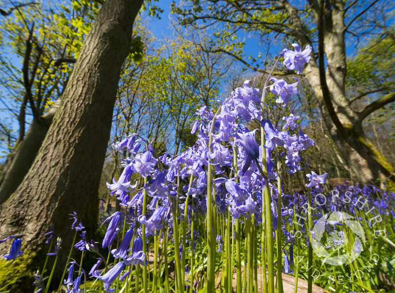 Bluebells growing on the slopes of the Wrekin in Shropshire.