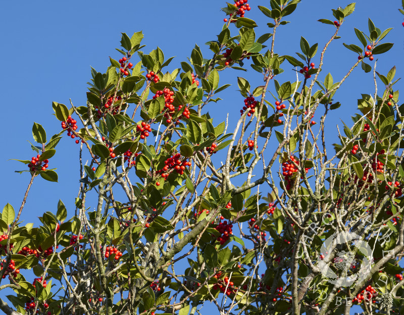 Holly tree laden with berries at the Hollies Nature Reserve, Shropshire.