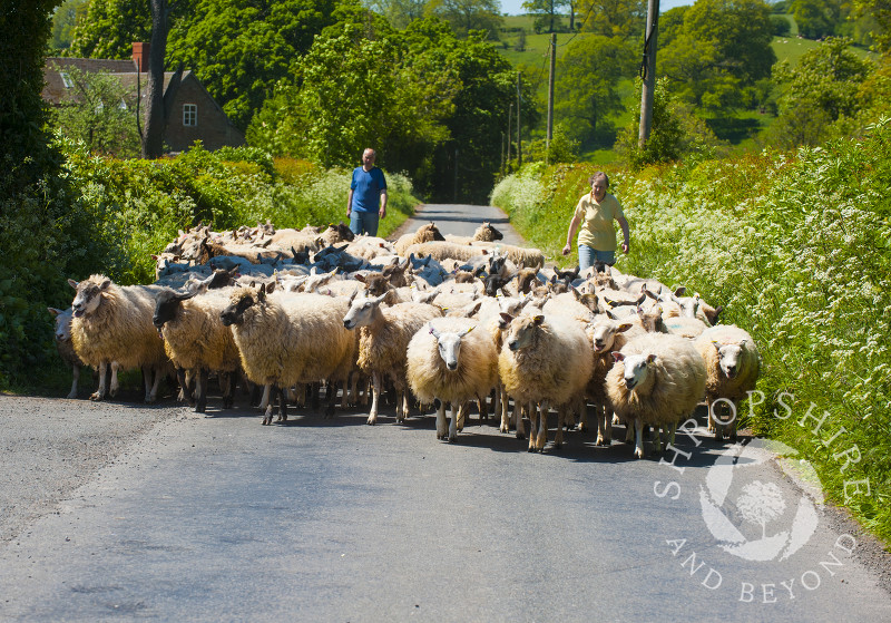 Sheep being herded down a country lane near Clee St Margaret, Shropshire, England.