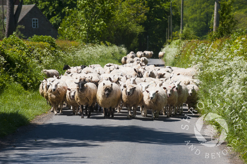 A flock of sheep in a country lane near Clee St Margaret, Shropshire.