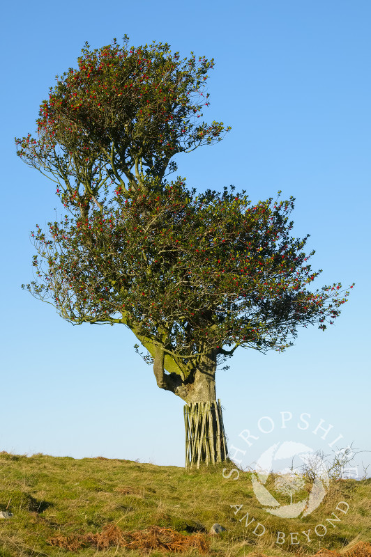 Holly tree on the Hollies Nature Reserve, the Stiperstones, Shropshire.