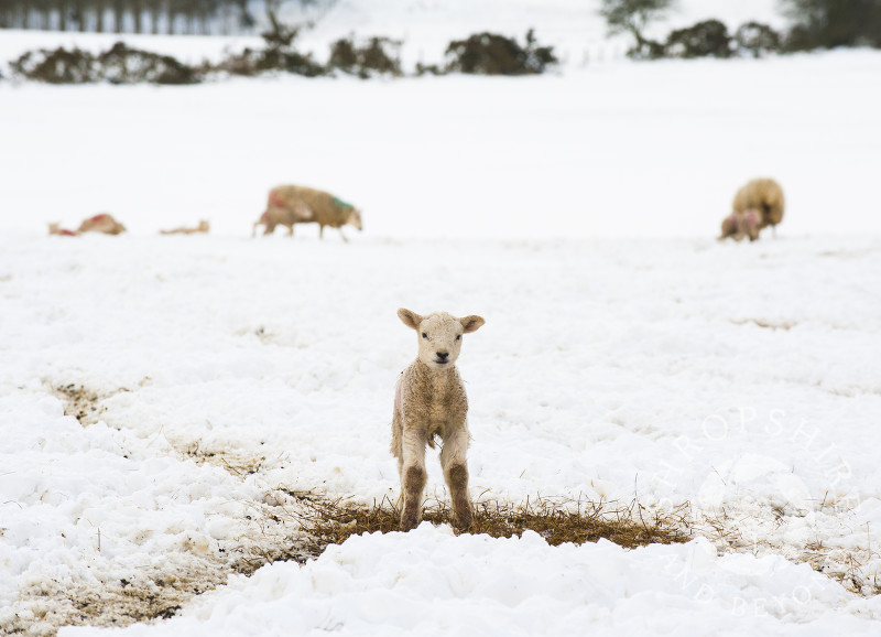 A lamb in spring snow on the Stiperstones in South Shropshire, England.