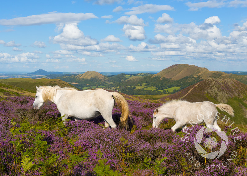 Wild ponies amid the heather on the Long Mynd, Shropshire.