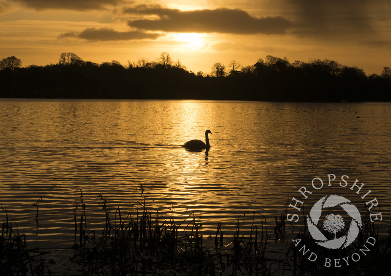 A swan at sunrise on the Mere, Ellesmere, Shropshire.