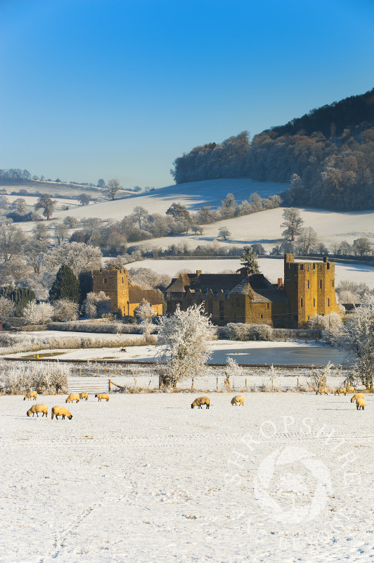 Sheep in a snow-covered field near Stokesay Castle, Shropshire, England.