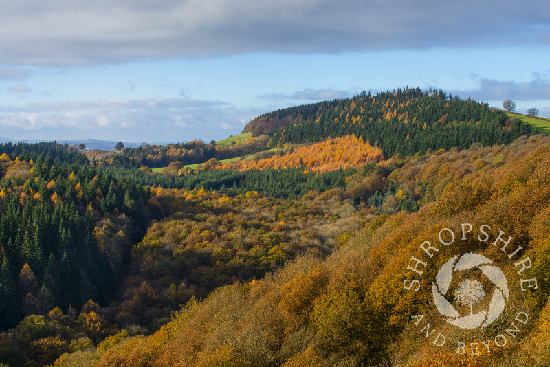 A sea of autumn colour in Mortimer Forest, near Ludlow, Shropshire, England.
