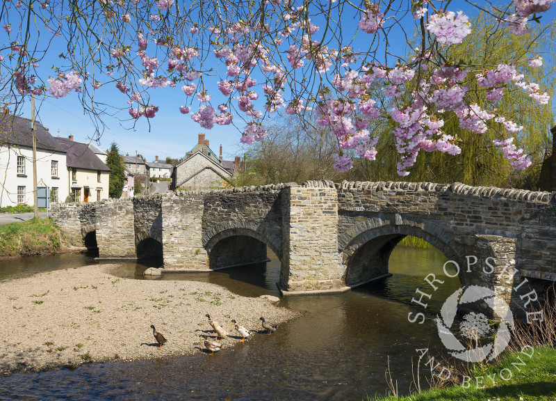 Spring blossom near the packhorse bridge and River Clun in Clun, Shropshire, England.