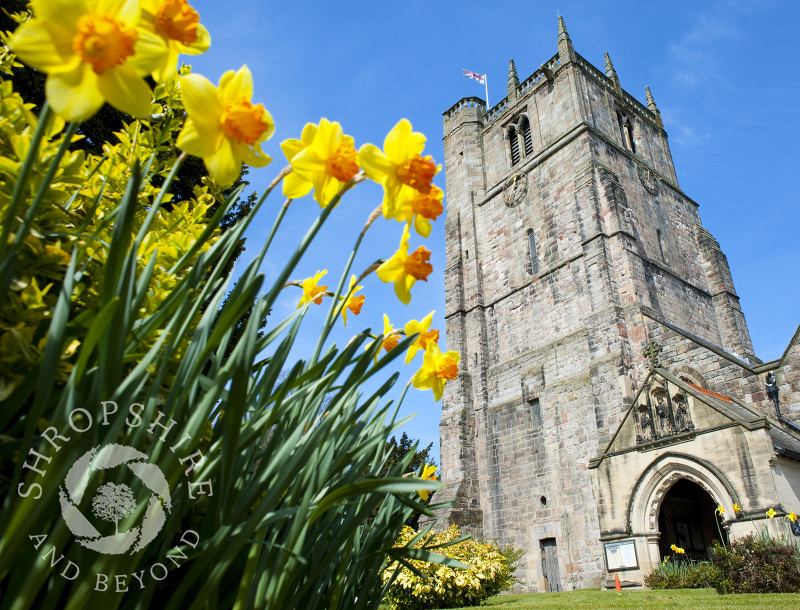 Daffodils at St Oswald's Church in Oswestry, Shropshire, England.