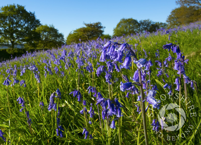 Bluebells on Burrow Hill Camp, an Iron Age hill fort near Craven Arms, Shropshire.