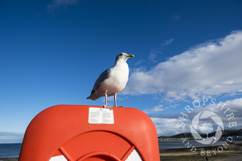 A herring gull perches on a life belt station at Llanduno, Conwy, Wales.