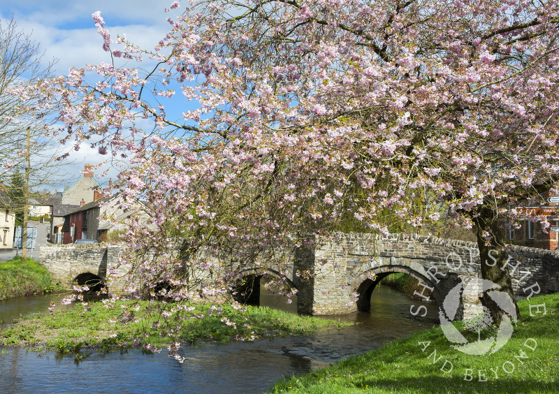 Spring blossom beside the medieval packhorse bridge over the River Clun in the town of Clun, Shropshire.