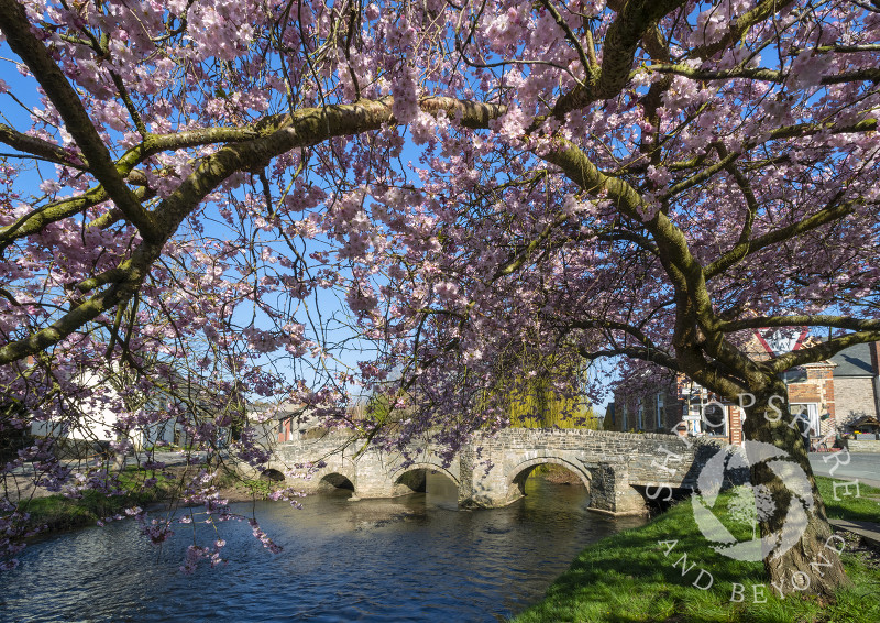 Cherry blossom beside the medieval pack horse bridge at Clun, Shropshire.
