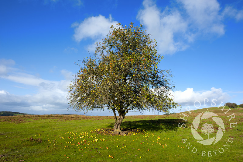 A lone apple tree in autumn on Hopesay Common, near Craven Arms, Shropshire, England.