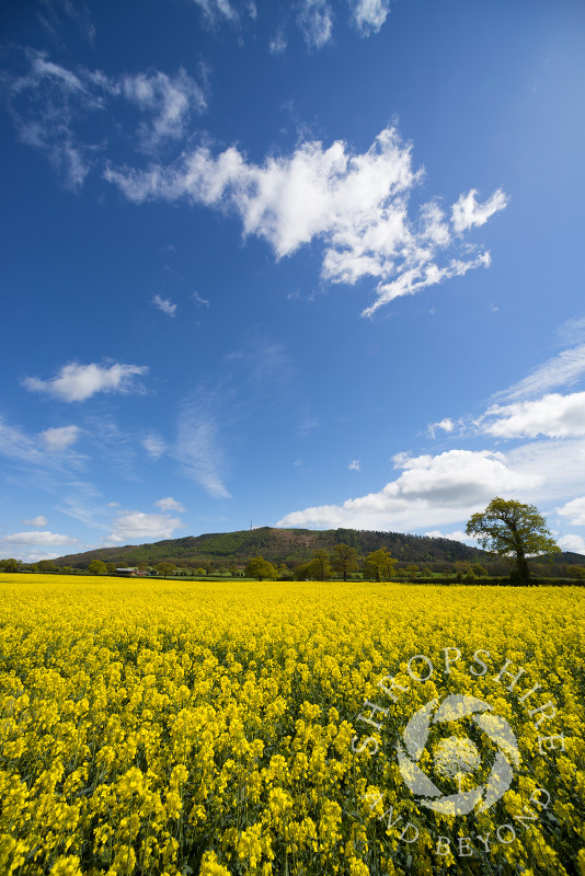 An oilseed rape field beneath the Wrekin near Telford in Shropshire, England.
