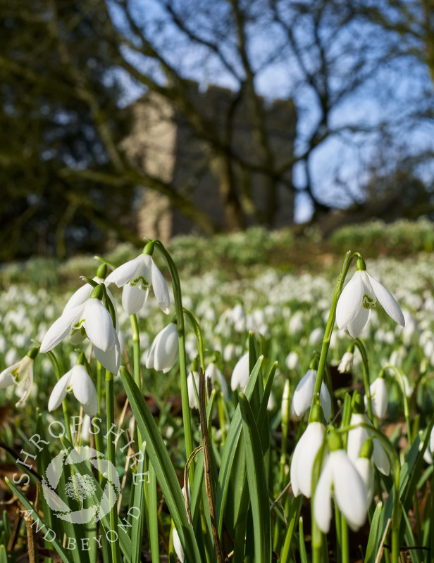 Spectacular display of snowdrops in the churchyard at St Peter's, Stanton Lacy, Shropshire.
