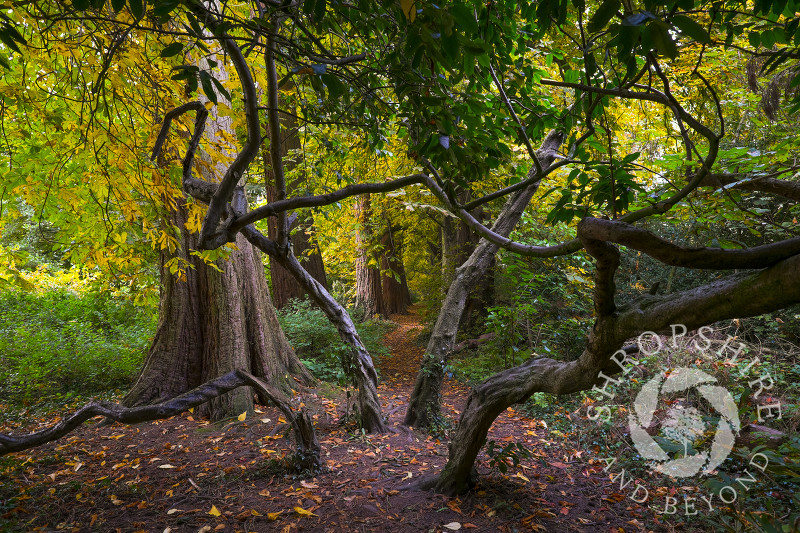 A path through misshapen trees in autumn woodland at Ellesmere, Shropshire.