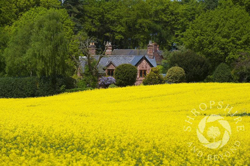 Sandstone cottage and a field of oilseed rape near Sambrook, Shropshire.