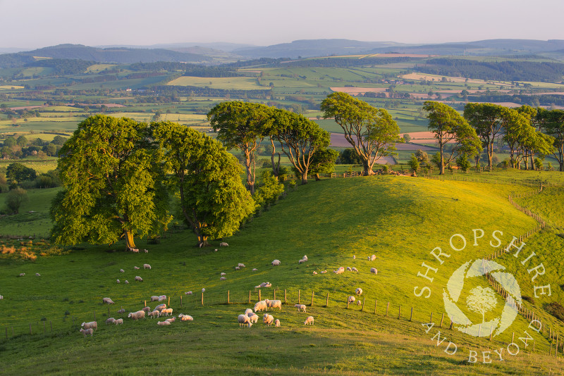 Sheep grazing in the evening sunlight on Linley Hill, near Norbury, Shropshire.