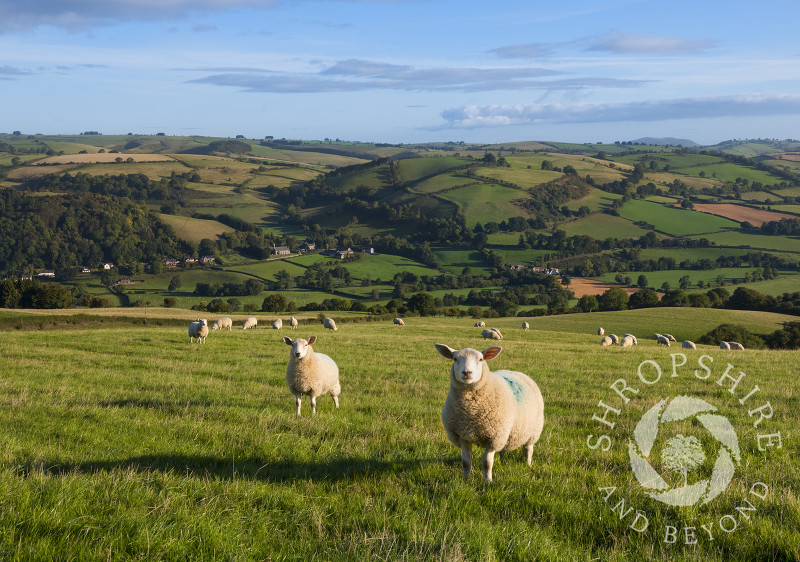 Sheep grazing above Newcastle on Clun, Shropshire.