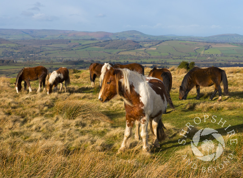 Ponies enjoying winter sunshine on Brown Clee with the Stretton Hills in the background, Shropshire.