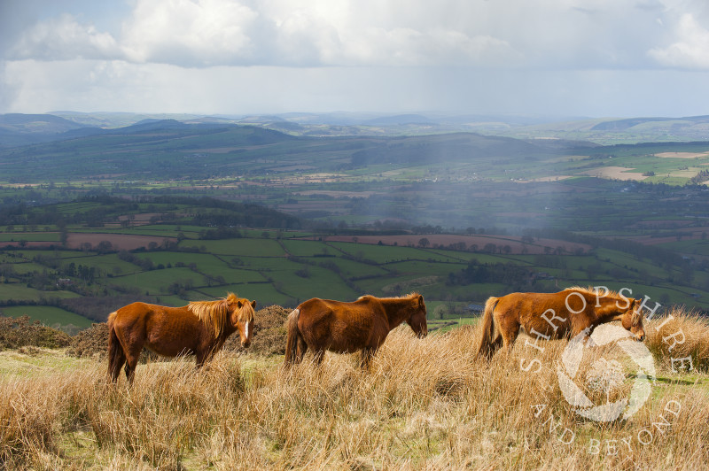 Ponies grazing on Brown Clee Hill, Shropshire, England.