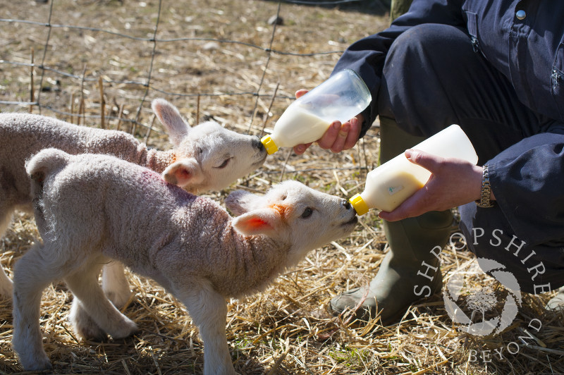 Two lambs being bottle fed at Middle Farm, Shelve, on the Stiperstones, Shropshire, England.