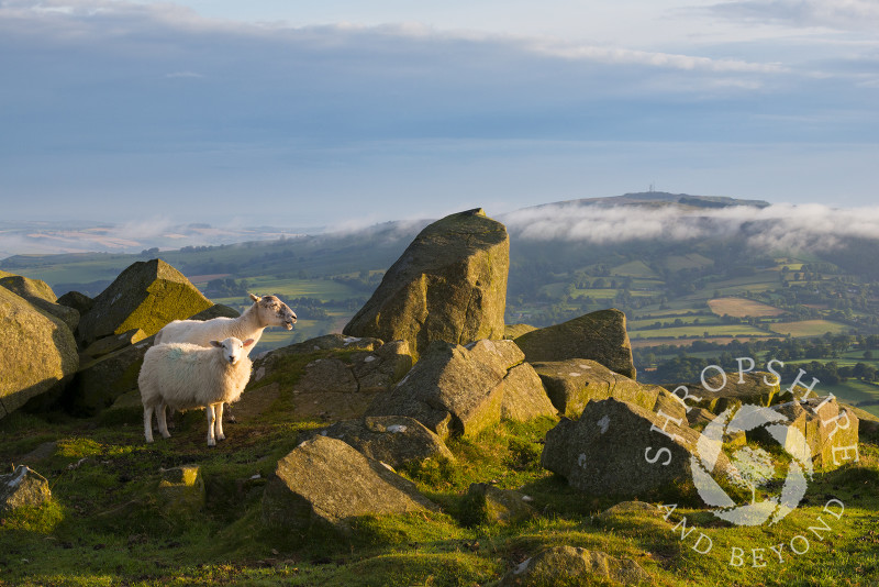 Two sheep at sunrise on Titterstone Clee, Shropshire.