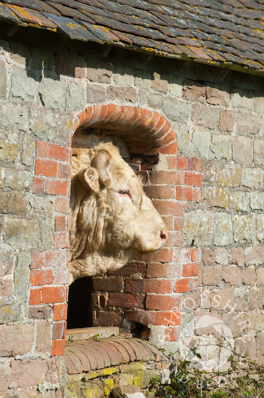 A bull poking its head through a window in an old barn, Holdgate, Shropshire.