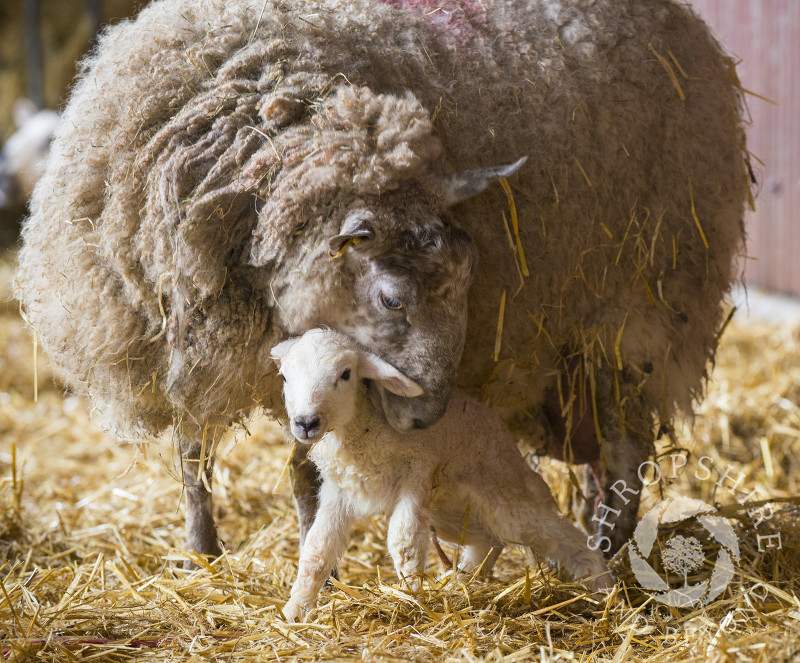 Ten minutes old lamb with its mother on a farm at Shelve, Shropshire.
