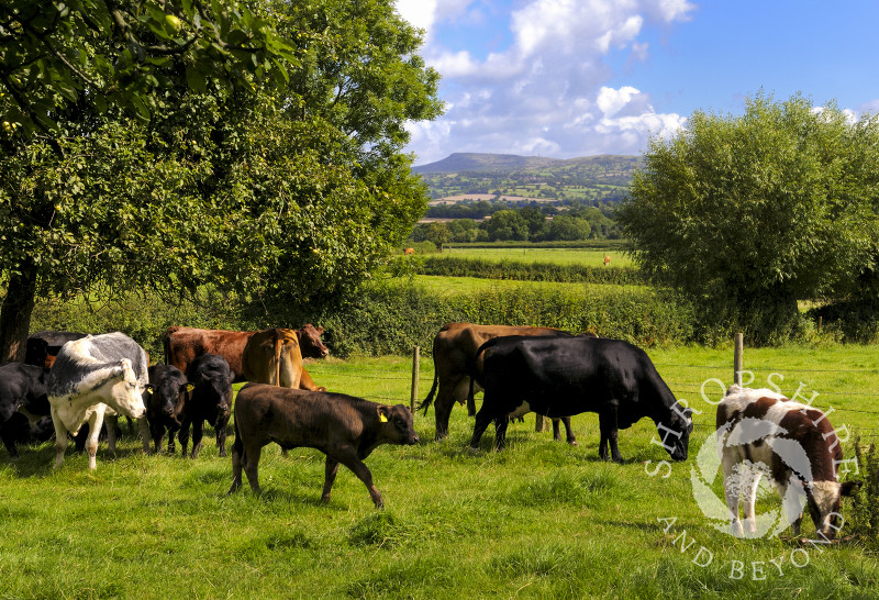 Cows grazing in a field at Brimfield, Herefordshire, England.